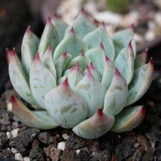 Echeveria chihuahuensis 吉娃娃 2018-09-29 #多肉植物 #succulents