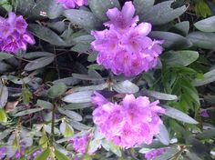 Rhododendrons are easy to please.