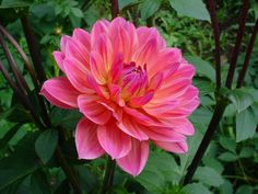 The 'Aurora' dahlia @ Dahlia Barn