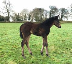 Gleneagles' first foals are already impressing and this smart filly ex Crazy Volume is no exception! Born on January 18th, she's a half-sister to dual Gr.1 winner Gallante #CoolmoreSires