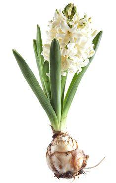 Hyasintti on suosittu joulukukka. Modern Vintage Fashion, Spring Green, Spoonflower, Perennials, Poppies, Beautiful Flowers, Plants, Party, Poppy