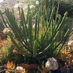Euphorbia leucodendron - Cat Tails EuphorbiaatSan Marcos Growers