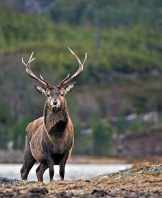 Red deer stag by Margaret J walker