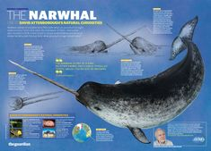 http://www.guardian.co.uk/natural-curiosities/graphic/narwhal-david-attenborough-natural-curiosities#    Narwhal information about rare arctic whale's spike