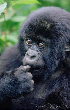 Young gorilla