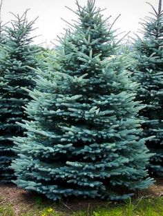 The Colorado Blue Spruce is an ideal wind-break, privacy screen, or accent tree. This low maintenance evergreen is drought and salt tolerant and deer resistant. Online ordering available for fast delivery! Canadian Hemlock, Blue Spruce Tree, Acid Loving Plants, All Plants, Garden Plants, Wind Break, Fast Growing Evergreens, Privacy Trees, Trees Online