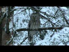 Tarinoita metsästä: Lapinpöllö