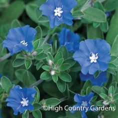 Blue Daze' is a durable, ever-blooming trailing plant that works for spilling over the edges of pots or covering the ground as an annual groundcover. Its superb, true blue flowers and gray-green foliage make all the orange, pink, red and yellow flowers that it grows with that much prettier. Loves the heat and sun.