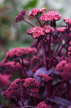 Sedum telephium 'Purple emperor' is a compact, clump-forming deciduous perennial…