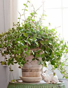 A gorgeous slow-growing vine Hoya or wax plant thrives in bright indirect light but does almost as well in darker locations. A gorgeous slow-growing vine Hoya or wax plant thrives in bright indirect light but does almost as well in darker locations. Better Homes And Gardens, Easy Care Houseplants, Chlorophytum, Low Light Plants, Low Light Houseplants, Iron Plant, Dish Garden, Creta, Best Indoor Plants
