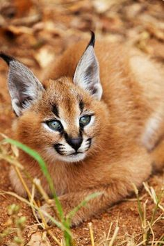 A caracal, a desert Lynx