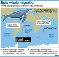 A humpback whale has broken the world record for travel by any mammal, swimming at least kilometres miles) from the Atlantic to the Indian Ocean in search of a mate, marine biologists reported on Wednesday. Whale Migration, Whale Facts, Humpback Whale, World Records, Atlantic Ocean, Long Distance, Trivia, Map, Quizes