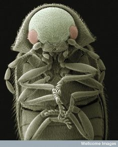 Flour beetle (Tribolium castaneum) by Kevin MacKenzie Scanning Electron Micrograph, Electron Microscope, Foto Macro, Macro Photo, Micro Photography, Insect Photography, Microscopic Photography, Microscopic Images, Macro And Micro