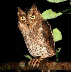 Moluccan Scops Owl Otus magicus - Google Search