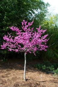 Pin by alicya lk on garden pinterest more grasses and find this pin and more on garden ideas oklahoma redbud small deciduous tree leaves are heart shaped and glossy green gorgeous dark pink flowers mightylinksfo