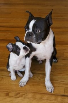 Boston Terrier Brothers
