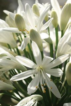 Agapanthus 'White Heaven' Can you imagine both varieties of white and blue?  Just like blue and white porcelain.