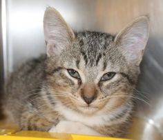 ADOPTED>Intake: 10/18 Available: Now  NAME: Aries  ANIMAL ID: 33763784 BREED: DSH SEX: Male  EST. AGE: 10 weeks  Est Weight: 2 lbs Health:  Temperament: Friendly ADDITIONAL INFO: O/S  RESCUE PULL FEE: $35