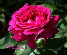 """English Rose """"William Shakespeare"""""""