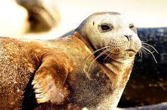 Seal lounging