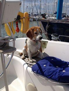 Millie the beagle enjoying relaxing in Yarmouth Marina. #Beagle #BeagleCute