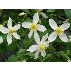 Clematis Anita  Z3, sun-part shade,  July to September, Prune 3: deciduous-herbaceous, Tangutica family smells gooood...produces hundreds of white flowers from, Anita has butter yellow buds that open to clear white outward-facing blooms. A larger-flowered substitute for sweet autumn clematis. ...