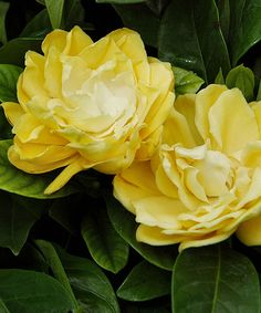 Look at this Sunshine Gardenia Shrub on #zulily today!