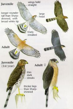Owl Bird, Bird Art, Pet Birds, Love Birds, Beautiful Birds, Hawk Species, Cooper's Hawk, Bird Identification, Backyard Birds