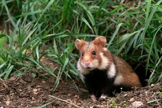 fiche animaux hamster europe