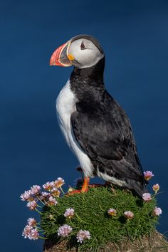 """Five Hotspots for Photographing Puffins, Murres, Auklets, and More - - Late spring and summer is the best time of year to capture the so-called """"penguins of the north,"""" even if it takes a bit of travel. All Birds, Little Birds, Animals And Pets, Cute Animals, Puffins Bird, Colorful Birds, Exotic Birds, Exotic Pets, Tier Fotos"""