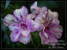 Geraniums Garden, Ivy Geraniums, House Plants, Messages, Flowers, Plants, Geraniums, Indoor House Plants, Foliage Plants