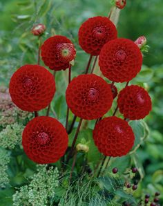 """CORNEL (BA) Introduced in 1982. This variety is a """"MUST HAVE"""" for those who exhibit. Blooms are 3 1/2"""" of dark red that grow on strong, straight stems. Very showy variety on the bush and nice in the garden too. Plant height grows to 4'. Recommended as a cut flower."""