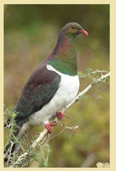 Güvercin -Yeni Zelanda