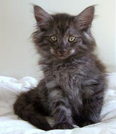 Fridalas Astro   S*Fridalas Norsk Skogkatt uppfödning, kattungar till salu