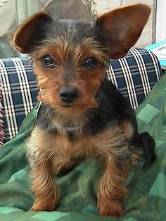 Dorkie Puppies ( Dachshund and Yorkie mix) Possible new adventure!