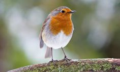 The robin, one of the species Natural England thinks might present a hazard. Photograph: Dave Zubraski / Alamy/Alamy