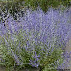 Výsledok vyhľadávania obrázkov pre dopyt perovskia atriplicifolia 'little spire'