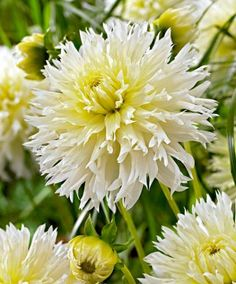 Large-Flowered Dahlia 'Ice Crystal'Large flowered dahlia 'Ice Crystal' is a beautiful dahlia with white serrated petals! Only a few summer flowers are as rewarding as these easy-to-grow tuberous rooted plants. Dahlias are excellent cut flowers which bloom for a very long time.