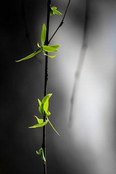 """Plante """"Zen"""" - """"En me promenant  près d'un ruisseau dont les rives étaient bordées de neige, j'ai aperçu  un  vieux saule pleureur.  Son cœur mangé par les termites, il semblait  mort, sans vie. En regardant de plus près, sur ses branches brunâtres, des pousses de vie me souriaient """". - Photo et texte de James Li - Flickr - 11 Février 2012 -"""