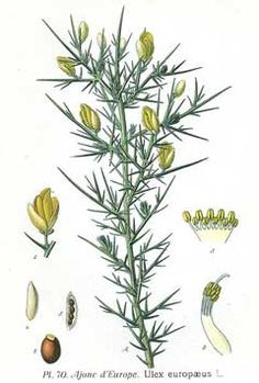Ulex europaeus Gorse. Ulex europaeus Gorse. It can fix Nitrogen. It is noted for attracting wildlife. Produces a yellow dye. Fragrant blooms. Invasive.
