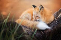 Meet Freya, The Beautiful Fox I Photographed In Polish Woods (Bored Panda) Fantastic Fox, Fabulous Fox, National Geographic, Wild Animal Wallpaper, Fox Collection, Fox Pictures, Animal Doodles, Foxes Photography, Forest Creatures