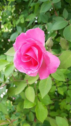 Wallpaper Nature Flowers, Rose Flower Wallpaper, Flowers Nature, Exotic Flowers, Flowers Gif, Rose Flower Pictures, Beautiful Flowers Pictures, Beautiful Flowers Wallpapers, Amazing Flowers