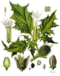 PLANTA TÓXICA Datura stramonium, trombeteira (jimson weed, devil's snare TOXIC PLANT)