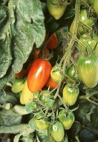 tomate k nigin der nacht schwarze gelb gestreifefr chte w rzig lecker s tomaten. Black Bedroom Furniture Sets. Home Design Ideas