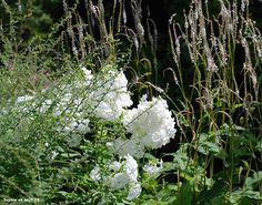 Phlox fujiyama et persicaria amplexicaulis alba