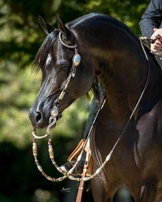 Western riding an Arabian