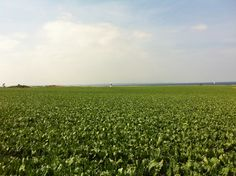 The island Hven west of Sweden. Lighthouse and sugarbeet.