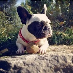 French Bulldog and an 'Epically' Dirty Tennis Ball, her favorite Toy EVER!