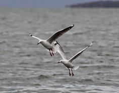 Janice Dickers - Google+ Silver Gulls.