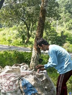 Rubber Plantation in Malaysia - - - Worker collected and packed the rubber latex of the day ...